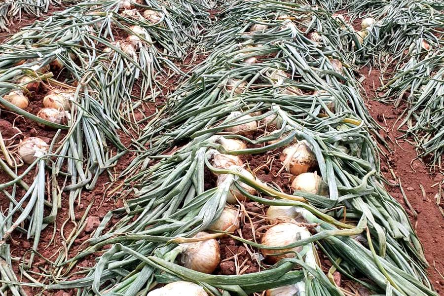 cebolla plantada