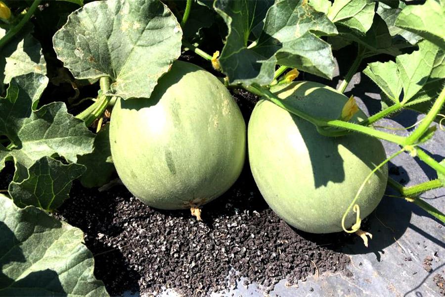 melones en la tierra